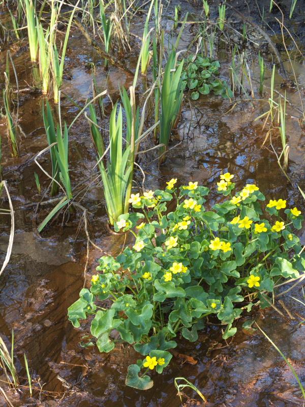 Marsh Marigold in wet area of Edford Woods