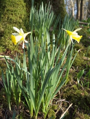 Wild Daffodils in their natural woodland setting