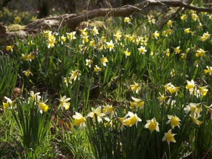 Wild Daffodils in Edford Woods
