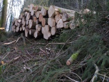 The timber is stacked waiting extraction, while the brashings are mostly left where they fell