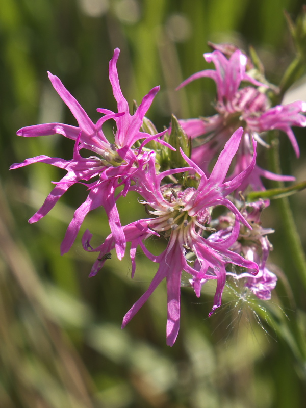 Close up of flowers of Ragged Robin (Lychnis flos-cuculi)