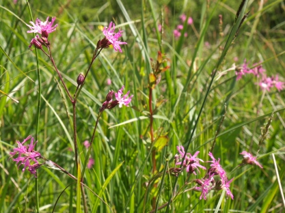 Ragged Robin (Lychnis flos-cuculi) amongst the Rushes