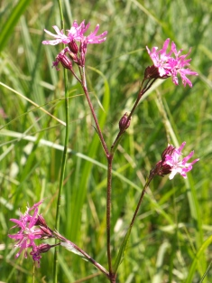 Showing the upright habit of Ragged Robin (Lychnis flos-cuculi)